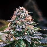 """なぜ合法化が進むアメリカで""""密造大麻""""が流通?――THCリキッド市場が拡大! 日米マリファナ最新(裏)事情"""